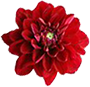 krasni-cvetok